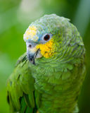 Green and yellow conure Stock Image