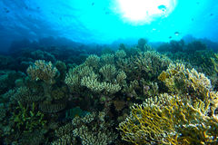 Green and yellow coral garden under the water Stock Images