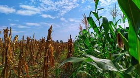 green and yellow corn plants