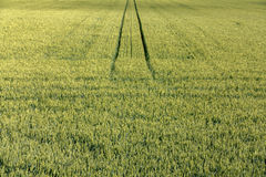 Green and yellow cornfield  late summer afternoon, perspective with vertical lines. Royalty Free Stock Photo