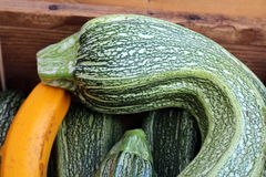 Green and Yellow Crookneck Squash Royalty Free Stock Images