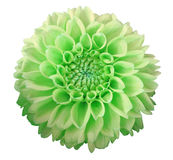 Green-yellow Dahlia  flower, white  background isolated  with clipping path.  Closeup. Stock Photo