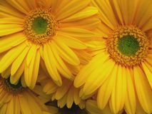 Green and yellow daisies Royalty Free Stock Photography