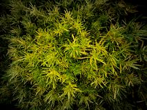 Green Yellow Dots Leaves. The Green Yellow Dots Leaves in The Field stock photography