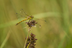 Green yellow dragonfly. Yellow/green dragonfly resting on a stem Stock Photo