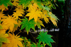 Green and yellow fall leaves Stock Photos