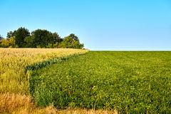 Green and yellow farm field over blue sky Stock Photography