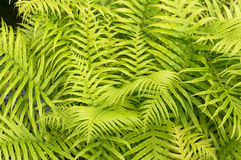 Green yellow fern leaves. Tropical nature background Royalty Free Stock Photos