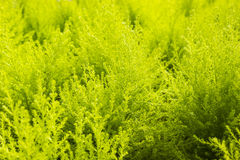 Green yellow fern in nuture Royalty Free Stock Image