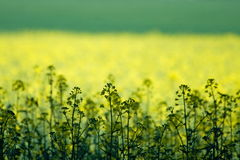 Green and yellow field royalty free stock photo