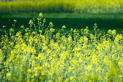 Green and yellow field. Green and golden canola field Royalty Free Stock Photography