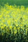 Green and yellow field. Green and golden canola field Royalty Free Stock Images