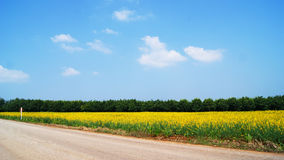 Green and yellow fields. Green wheat and yellow rape fields against blue sky Royalty Free Stock Photo
