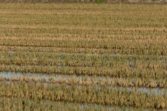 Green and yellow flooded rice field. Perfect and natural background. Albufera Natural Park, Valencia, Spain stock image