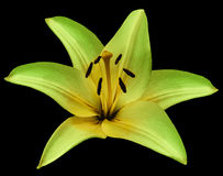 Green-yellow flower Lily on isolated black  background with clipping path.  Closeup.  Beautiful  bright green  flower  for design. Stock Photo