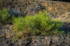 Yellow Flowering Desert Bush Stock Photography