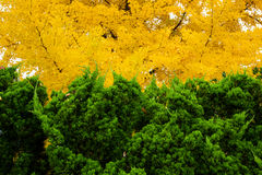 Green and yellow foliage color Royalty Free Stock Photos