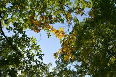 Green and yellow forest in the beginning of autumn. View on oak tree branches from below. Foliage against the sky.  stock photos