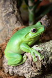 Green yellow frog Stock Photography