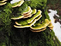 Green and yellow fungi growing on a mossy tree stump. Striking green and yellow fungi growing from a wet mossy tree stump in winter royalty free stock photos