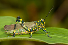 Green and yellow grasshopper Stock Image