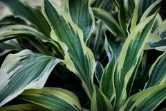 Green and yellow hosta leaves, large striped leaves hostas, plantain lilies, giboshi. Green background