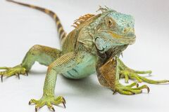 Green and Yellow Iguana Royalty Free Stock Photo