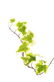 Green yellow ivy Stock Photo