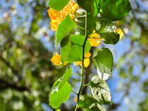 Green and Yellow Ivy Leaves Royalty Free Stock Photo
