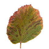 Green-yellow leaf as autumn symbol Royalty Free Stock Image