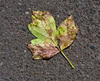 Green-yellow leaf on asphalt Stock Images