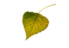 Green-yellow leaf of birch. Royalty Free Stock Images