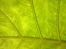 Green and yellow leaf natural background. Fresh summer or spring Royalty Free Stock Image