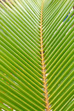 Green and yellow leaf of a palm tree Royalty Free Stock Images