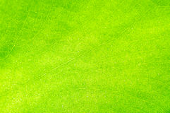 Green-yellow  leaf texture Royalty Free Stock Photos