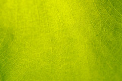 Green-yellow  leaf texture Stock Image