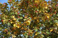 Green and yellow leafage and red berries of whitebeam. In autumn Royalty Free Stock Image