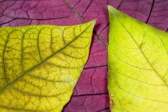 Green and yellow leafs. Green and yellow leaf under red Stock Image