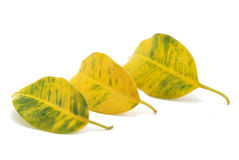 Green-yellow leaves Stock Image