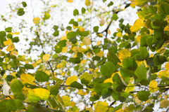 Green and yellow leaves background. Colorful leaves as an autumn style background stock photos