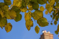 Green and yellow leaves and blue skies on a sunny day. This image shows some green and yellow leaves against a blue sky on a sunny day royalty free stock photos