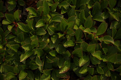 Green and yellow leaves closeup. Green and yellow leaves and the play of light and shadow closeup Royalty Free Stock Photo