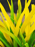 Green and yellow leaves of a Crinum asiaticum Royalty Free Stock Photo