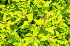 Green yellow leaves of decorative vibrant Physocarpus family bush plant. Green yellow leaves of decorative vibrant Physocarpus family bush shrub plant royalty free stock photo