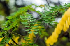 Green and yellow leaves with dew drops Stock Photos