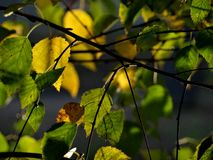 Green and yellow leaves. In the evening sun Royalty Free Stock Images