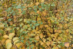 Green and yellow leaves of germander meadowsweet in autumn. Green and yellow leaves of germander meadowsweet in late autumn Stock Photo