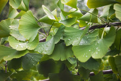 Green and yellow leaves of ginkgo on a branch Royalty Free Stock Photos