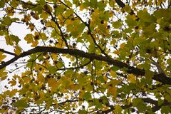 Green and yellow leaves. During end of summer and beginning of autumn stock image