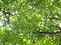 Green and yellow leaves - late summer, early fall. Green leaves against the sky. The end of summer - early autumn. Among green leaves appear yellow. For Stock Photo